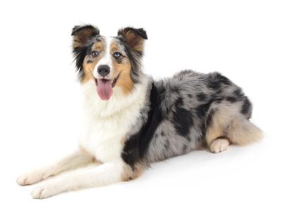 エムドッグス,動物プロダクション,ペットモデル,ペットタレント,モデル犬,タレント犬,オーストラリアンシェパード,Guris,グリ