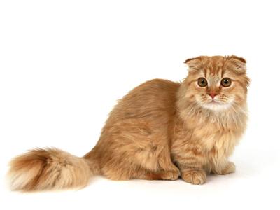 エムドッグス,動物プロダクション,ペットモデル,ペットタレント,モデル猫,タレント猫,マンチカン,茶太郎