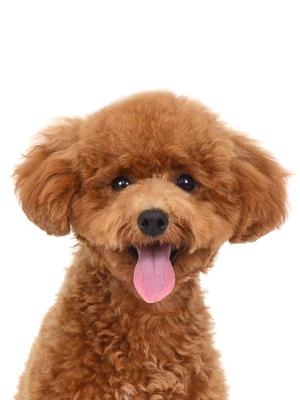 エムドッグス,動物プロダクション,ペットモデル,ペットタレント,モデル犬,タレント犬,トイプードル,ルル