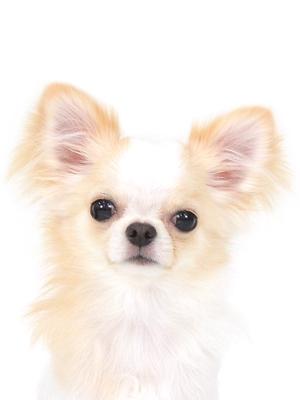 エムドッグス,動物プロダクション,ペットモデル,ペットタレント,モデル犬,タレント犬,チワワ,とうふ