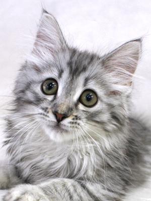 エムドッグス,動物プロダクション,ペットモデル,ペットタレント,モデル猫,タレント猫,サイベリアン