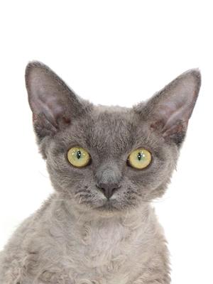 エムドッグス,動物プロダクション,ペットモデル,ペットタレント,モデル猫,タレント猫,デボンレックス,ルル