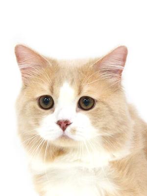 エムドッグス,動物プロダクション,ペットモデル,ペットタレント,モデル猫,タレント猫,スコティッシュフォールド,零依,れい