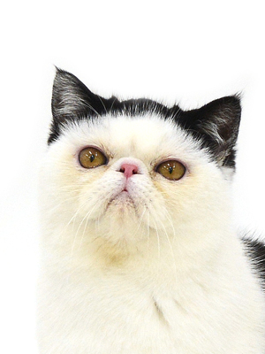 エムドッグス,動物プロダクション,ペットモデル,ペットタレント,モデル猫,タレント猫,エキゾチックショートヘア,おちょこ