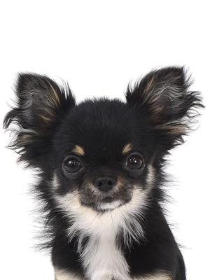 エムドッグス,動物プロダクション,ペットモデル,ペットタレント,モデル犬,タレント犬,チワワ,チー太