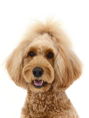 エムドッグス,動物プロダクション,ペットモデル,ペットタレント,モデル犬,タレント犬,ゴールデンドゥードル,かりん