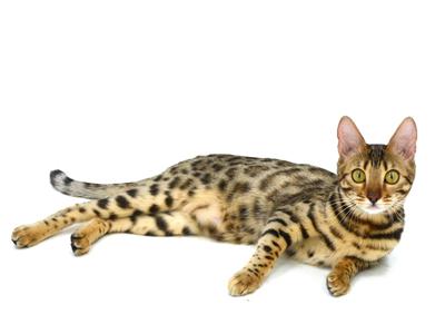 エムドッグス,動物プロダクション,ペットモデル,ペットタレント,モデル猫,タレント猫,ベンガル,ティル