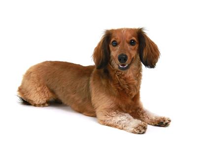 エムドッグス,動物プロダクション,ペットモデル,ペットタレント,モデル犬,タレント犬,ミニチュアダックスフンド,マロン