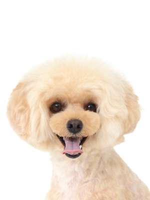 エムドッグス,動物プロダクション,ペットモデル,ペットタレント,モデル犬,タレント犬,トイプードル,マロ