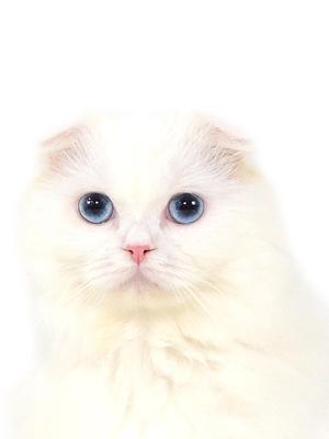 エムドッグス,動物プロダクション,ペットモデル,ペットタレント,モデル猫,タレント猫,スコティッシュフォールド,クルム