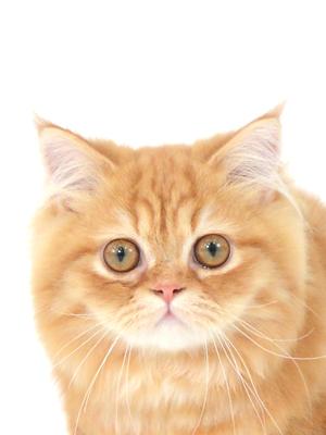 エムドッグス,動物プロダクション,ペットモデル,ペットタレント,モデル猫,タレント猫,マンチカン,