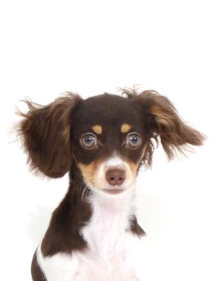 エムドッグス,動物プロダクション,ペットモデル,ペットタレント,モデル犬,タレント犬,MIX犬,ルナ