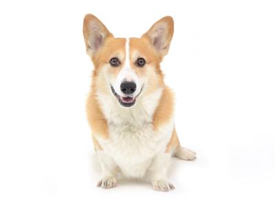エムドッグス,動物プロダクション,ペットモデル,ペットタレント,モデル犬,タレント犬,中型犬,コーギー,小太郎,こたろう