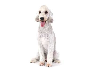 エムドッグス,動物プロダクション,ペットモデル,ペットタレント,モデル犬,タレント犬,中型犬,ベドリントンテリア,ヌーピー