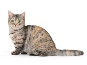 エムドッグス,動物プロダクション,ペットモデル,ペットタレント,モデル猫,タレント猫,マンチカン,さくら