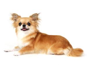 エムドッグス,動物プロダクション,ペットモデル,ペットタレント,モデル犬,タレント犬,チワワ,ミレー