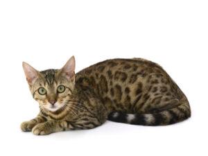 エムドッグス,動物プロダクション,ペットモデル,ペットタレント,モデル猫,タレント猫,ベンガル,クロエ