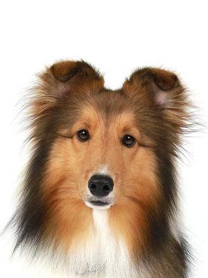 エムドッグス,動物プロダクション,ペットモデル,ペットタレント,モデル犬,タレント犬,シェットランドシープドッグ,音,おと