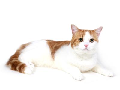 エムドッグス,動物プロダクション,ペットモデル,ペットタレント,モデル猫,タレント猫,マンチカン,ルーク
