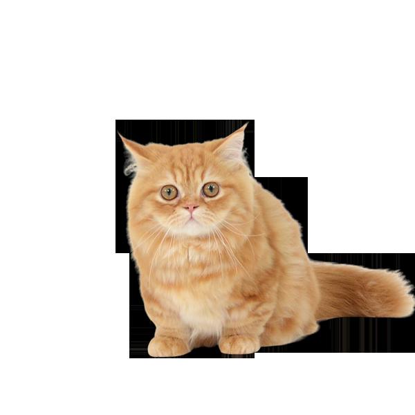 動物プロダクション エムドッグス ペットモデル マンチカン くるみ