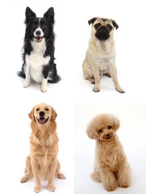エムドッグス,動物プロダクション,ペットモデル,ペットタレント,モデル犬,タレント犬,ボーダーコリー,ゴールデンレトリーバー,パグ,トイプードル