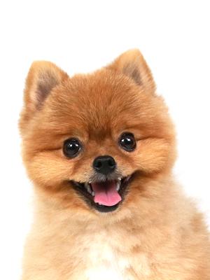 エムドッグス,動物プロダクション,ペットモデル,ペットタレント,モデル犬,タレント犬,ポメラニアン,唱,しょう