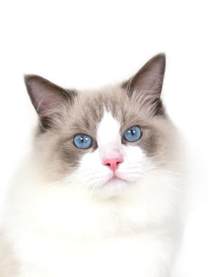 エムドッグス,動物プロダクション,ペットモデル,ペットタレント,モデル猫,タレント猫,ラグドール,ロイ