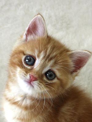 エムドッグス,動物プロダクション,ペットモデル,ペットタレント,モデル猫,タレント猫,アメリカンショートヘア,子猫