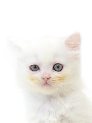 エムドッグス,動物プロダクション,ペットモデル,ペットタレント,モデル猫,タレント猫,スコティッシュフォールド,るい