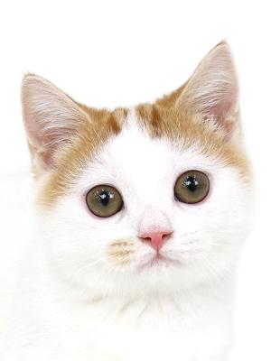 エムドッグス,動物プロダクション,ペットモデル,ペットタレント,モデル猫,タレント猫,ミヌエット,リリー
