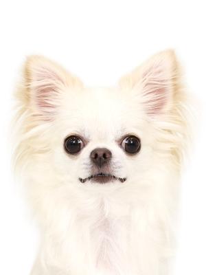 エムドッグス,動物プロダクション,ペットモデル,ペットタレント,モデル犬,タレント犬,チワワ,ジュエル