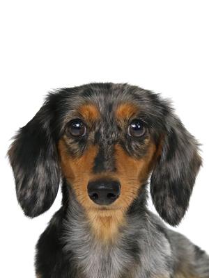 エムドッグス,動物プロダクション,ペットモデル,ペットタレント,モデル犬,タレント犬,カニーヘンダックスフンド,ぷぅ