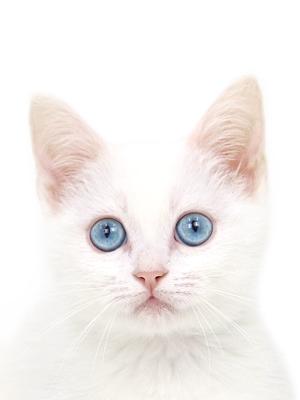 エムドッグス,動物プロダクション,ペットモデル,ペットタレント,モデル猫,タレント猫,マンチカン,おもち