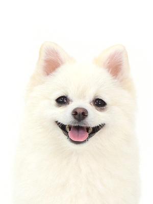 エムドッグス,動物プロダクション,ペットモデル,ペットタレント,モデル犬,タレント犬,ポメラニアン,クルム