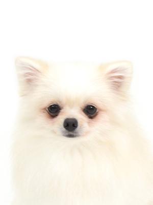 エムドッグス,動物プロダクション,ペットモデル,ペットタレント,モデル犬,タレント犬,ポメラニアン,結愛,ゆな