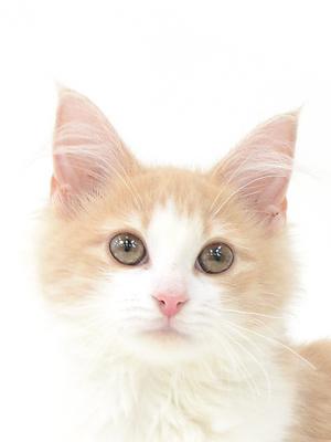 エムドッグス,動物プロダクション,ペットモデル,ペットタレント,モデル猫,タレント猫,ノルウェージャンフォレストキャット,ソノラマ