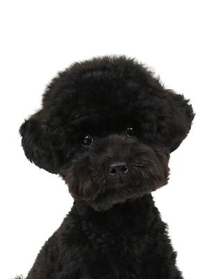エムドッグス,動物プロダクション,ペットモデル,ペットタレント,モデル犬,タレント犬,トイプードル,まめ