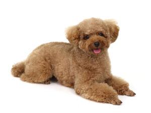 エムドッグス,動物プロダクション,ペットモデル,ペットタレント,モデル犬,タレント犬,トイプードル,マノ