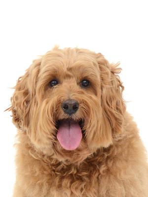 エムドッグス,動物プロダクション,ペットモデル,ペットタレント,モデル犬,タレント犬,オーストラリアンラブラドゥードル,ハル