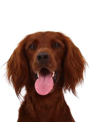 エムドッグス,動物プロダクション,ペットモデル,ペットタレント,モデル犬,タレント犬,アイリッシュセター,Monaka,モナカ