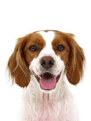 エムドッグス,動物プロダクション,ペットモデル,ペットタレント,モデル犬,タレント犬,ブリタニースパニエル,アメリ