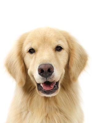 エムドッグス,動物プロダクション,ペットモデル,ペットタレント,モデル犬,タレント犬,ゴールデンレトリーバー,はな