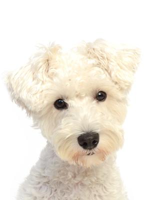 エムドッグス,動物プロダクション,ペットモデル,ペットタレント,モデル犬,タレント犬,ミニチュアシュナウザー,まお