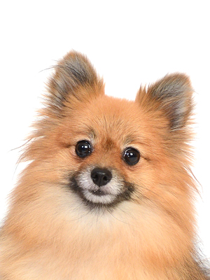 エムドッグス,動物プロダクション,ペットモデル,ペットタレント,モデル犬,タレント犬,ポメラニアン,ブラウニー
