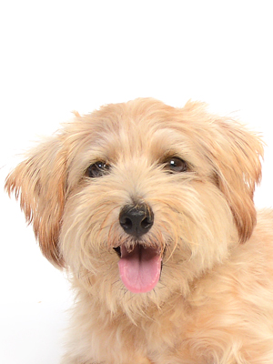 エムドッグス,動物プロダクション,ペットモデル,ペットタレント,モデル犬,タレント犬,ノーフォークテリア,ルナ