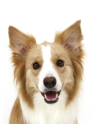 エムドッグス,動物プロダクション,ペットモデル,ペットタレント,モデル犬,タレント犬,ボーダーコリー,A#,アイス