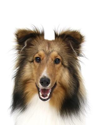 エムドッグス,動物プロダクション,ペットモデル,ペットタレント,モデル犬,タレント犬,シェットランドシープドッグ,Lira,リラ
