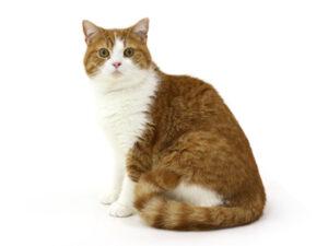 エムドッグス,動物プロダクション,ペットモデル,ペットタレント,モデル猫,タレント猫,スコティッシュフォールド,マロン