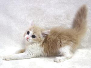 エムドッグス,動物プロダクション,ペットモデル,ペットタレント,モデル猫,タレント猫,スコティッシュフォールド,穂,ほの
