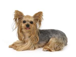 エムドッグス,動物プロダクション,ペットモデル,ペットタレント,モデル犬,タレント犬,ヨークシャーテリア,むぎ
